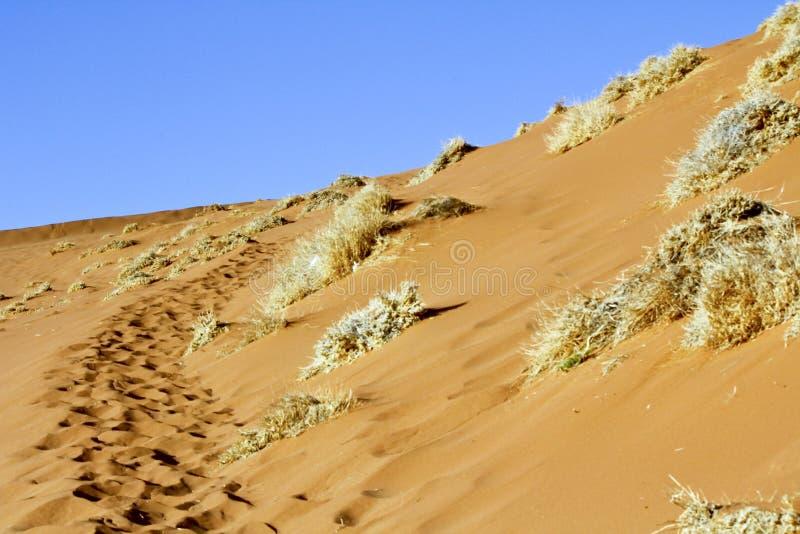 La duna roja majestuosa Tirado en Deadvlei fotografía de archivo libre de regalías