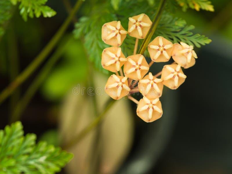 La ejecución de la flor de la estrella fotos de archivo libres de regalías