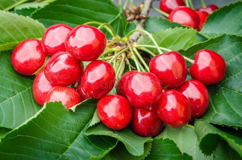 La ejecución roja de la cereza dulce de la baya en verde de la rama de árbol se va fotografía de archivo