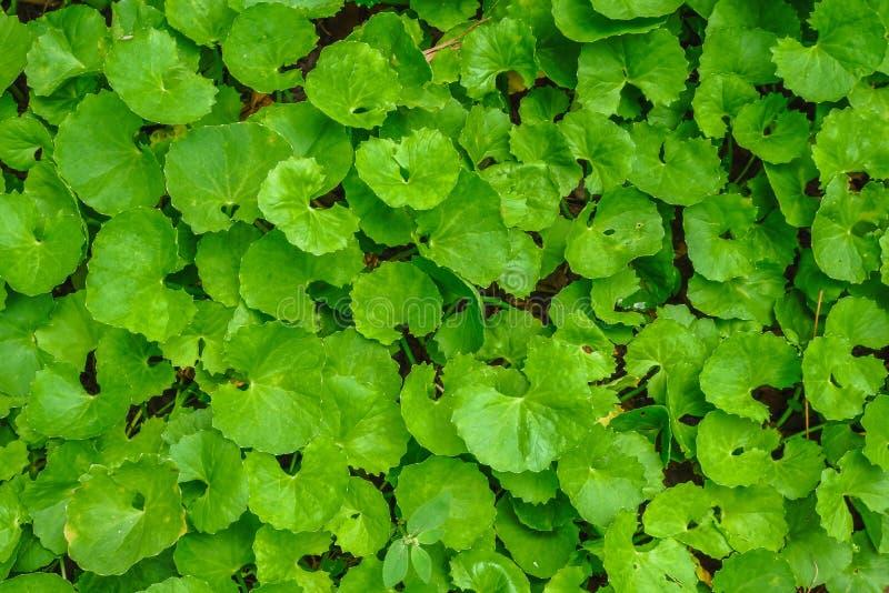 La endecha plana de la visión superior de las hojas verdes asiaticas del kolaCentella de Gotu texturizó imagenes de archivo