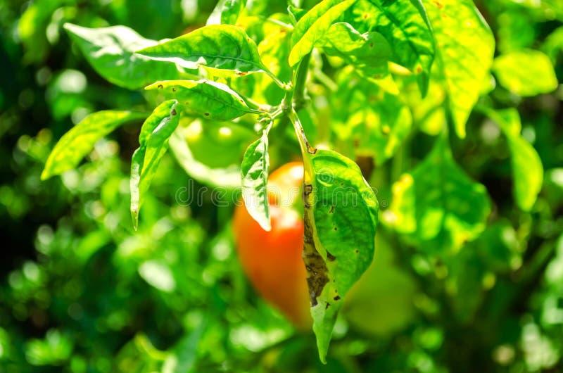 La enfermedad de la pimienta es causada por el virus de Phytophthora Infestans verduras en el campo imagenes de archivo