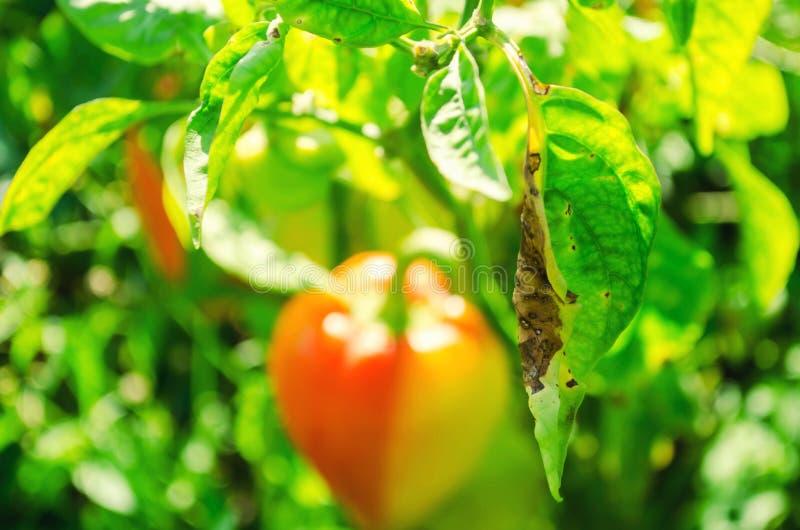 La enfermedad de la pimienta es causada por el virus de Phytophthora Infestans verduras en el campo fotos de archivo libres de regalías