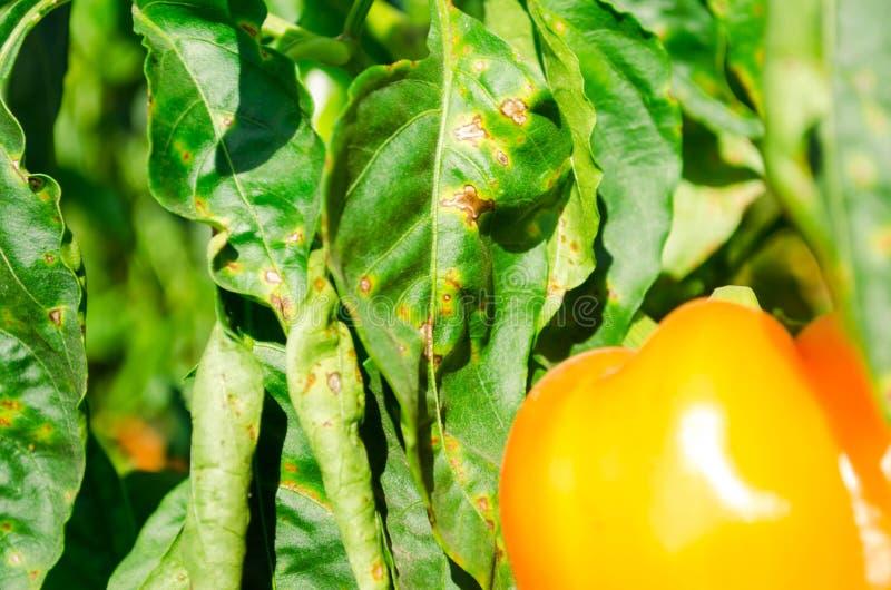 La enfermedad de la pimienta es causada por el virus de Phytophthora Infestans verduras en el campo fotografía de archivo libre de regalías