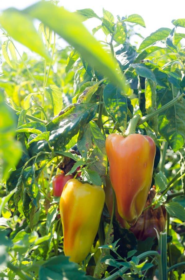 La enfermedad de la pimienta es causada por el virus de Phytophthora Infestans verduras en el campo foto de archivo libre de regalías
