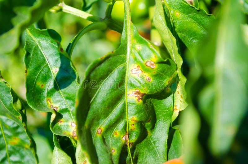 La enfermedad de la pimienta es causada por el virus de Phytophthora Infestans verduras en el campo foto de archivo