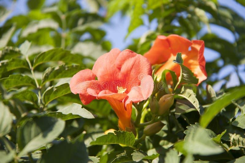 la enredadera de trompeta es una especie de planta floreciente del Bignoniaceae de la familia imagen de archivo