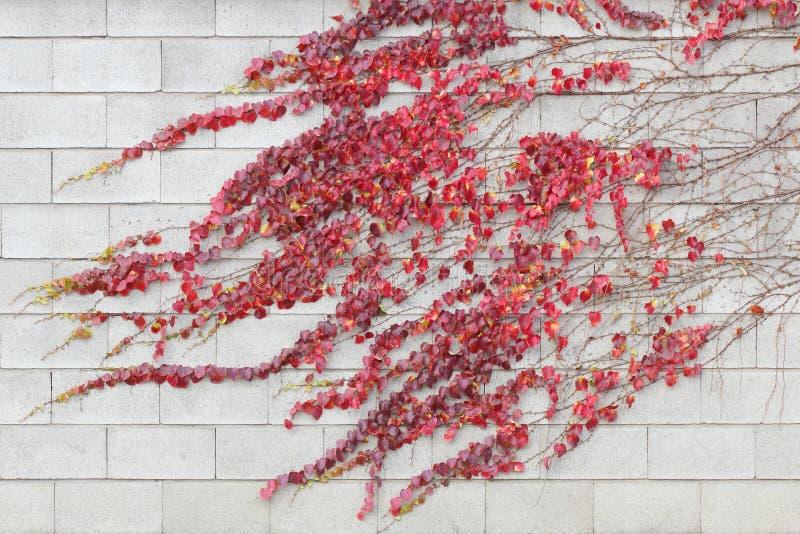 La enredadera roja de la hiedra se va en una pared blanca del edificio fotografía de archivo libre de regalías