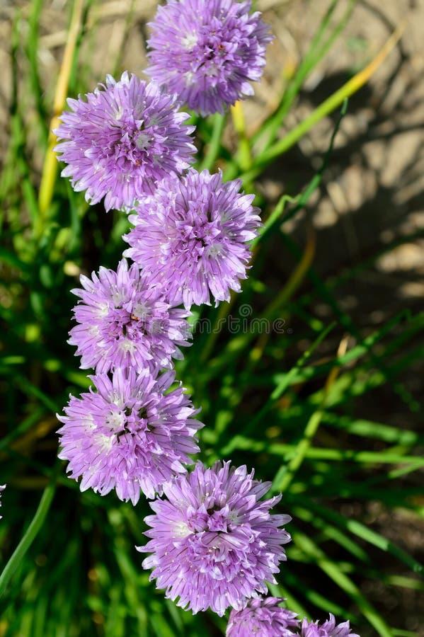La erba cipollina selvaggia ragruppa l'allium schoenoprasum fotografia stock libera da diritti