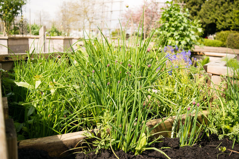 La erba cipollina si sviluppa in un letto alzato fotografia stock libera da diritti