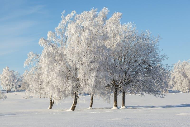 La escarcha cubrió árboles fotografía de archivo libre de regalías