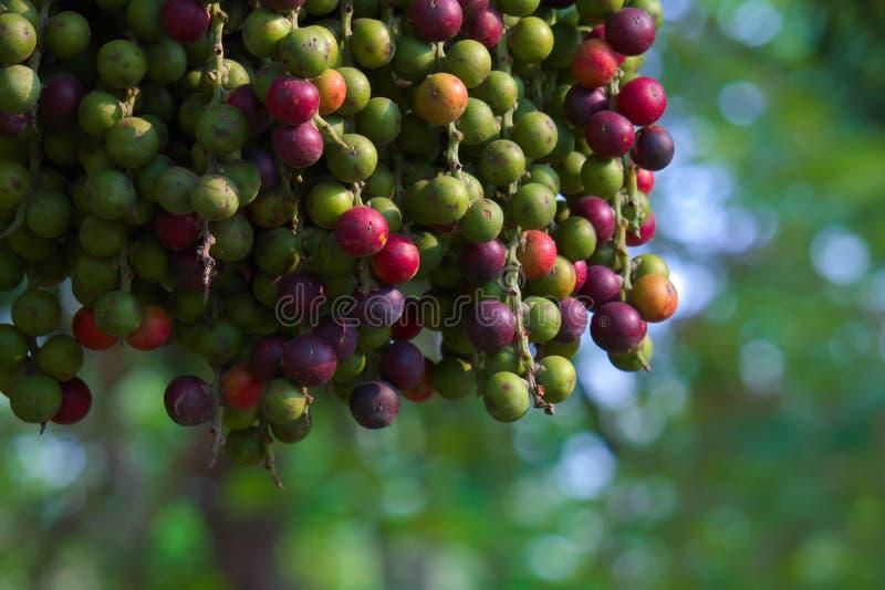 La escena inusualmente hermosa de un grupo colgante de palma púrpura y verde da fruto, con un fondo focal del bokeh, en un jardín fotografía de archivo libre de regalías