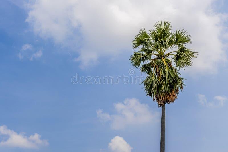 La escena natural de una palmera del azúcar de Asia con un fondo del cielo azul una alta resolución conveniente para el gráfico E fotos de archivo libres de regalías