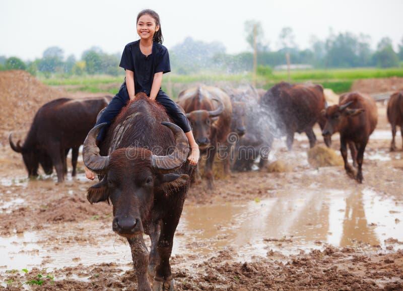 La escena tradicional rural de Tailandia, muchacha tailandesa del pastor del granjero está montando un búfalo, tendiendo búfalos  fotografía de archivo