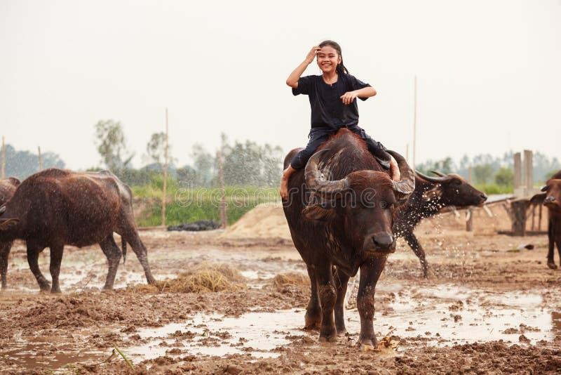 La escena tradicional rural de Tailandia, muchacha tailandesa del pastor del granjero está montando un búfalo, tendiendo búfalos  imagen de archivo libre de regalías