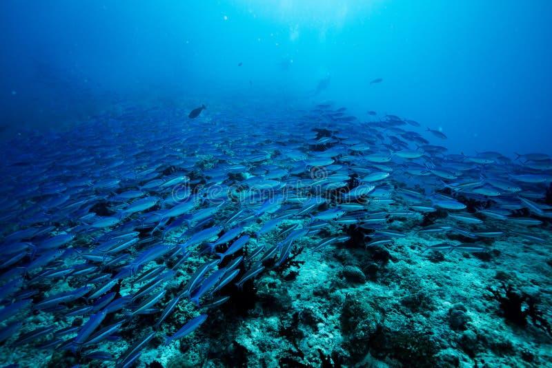 La escuela del submarino indio azul de la caballa a lo largo del sitio de la zambullida, bala el atolón, Maldivas fotos de archivo libres de regalías