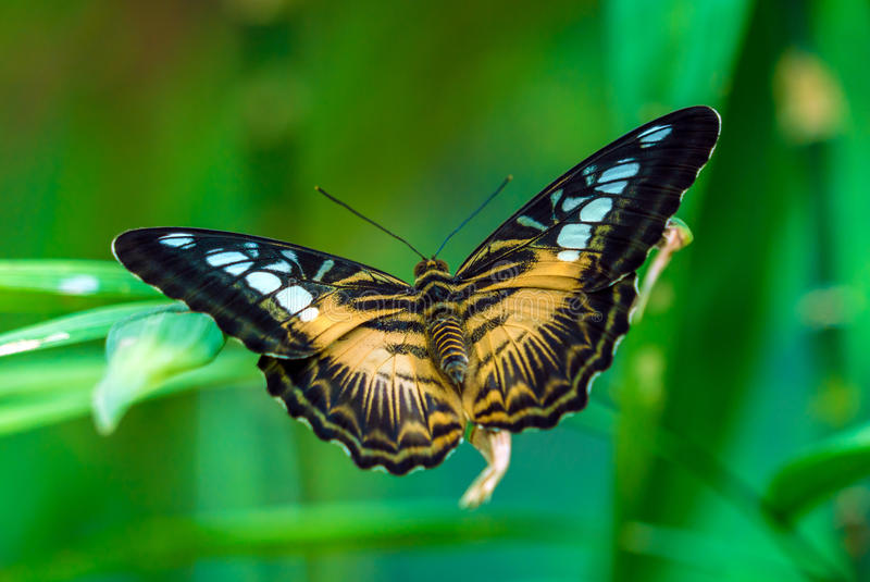 La especie de las podadoras de mariposa de nymphalid Parthenos Sylvia imagenes de archivo