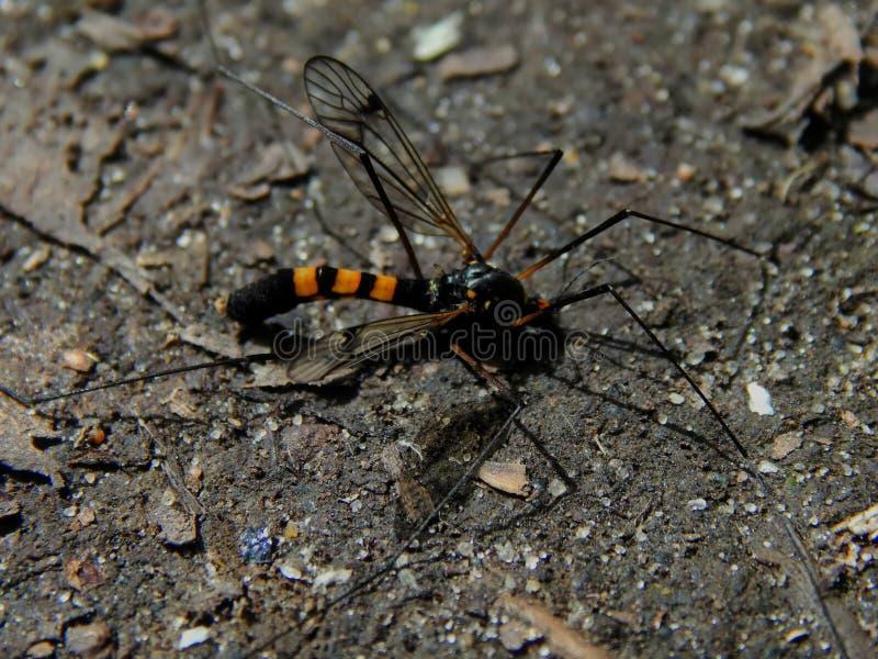 La especie de mosquitos del mosquito con las piernas largas y un color de avispas imágenes de archivo libres de regalías