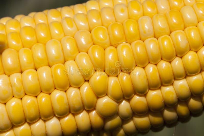 La espiga de campo de maíz del trigo fotos de archivo