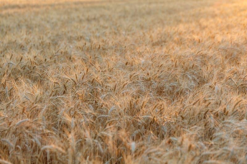 La espiga del cierre de oro del trigo para arriba Campo de trigo Paisaje hermoso de la puesta del sol de la naturaleza Paisajes r foto de archivo