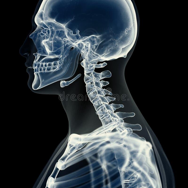 La espina dorsal cervical stock de ilustración