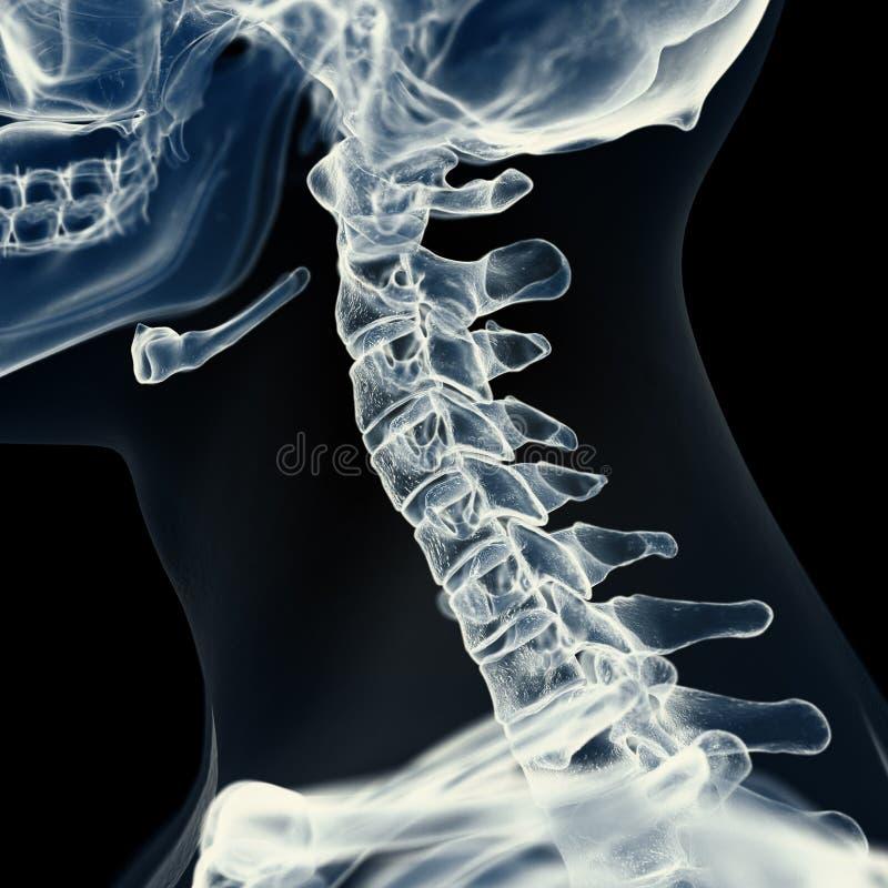 La espina dorsal cervical ilustración del vector