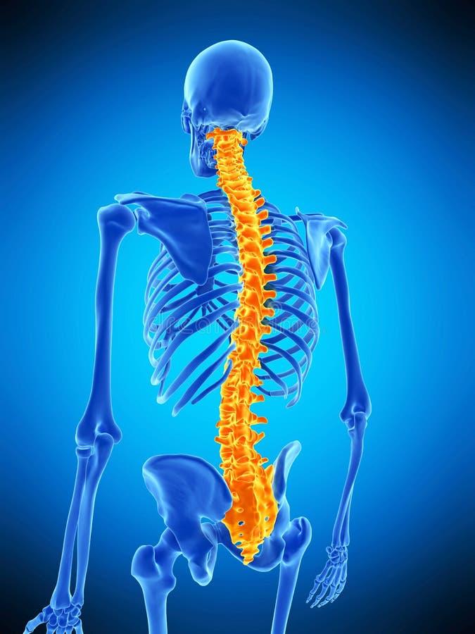 La espina dorsal humana stock de ilustración. Ilustración de ...