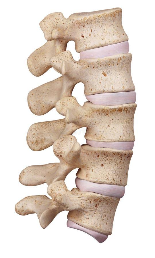 La espina dorsal lumbar ilustración del vector