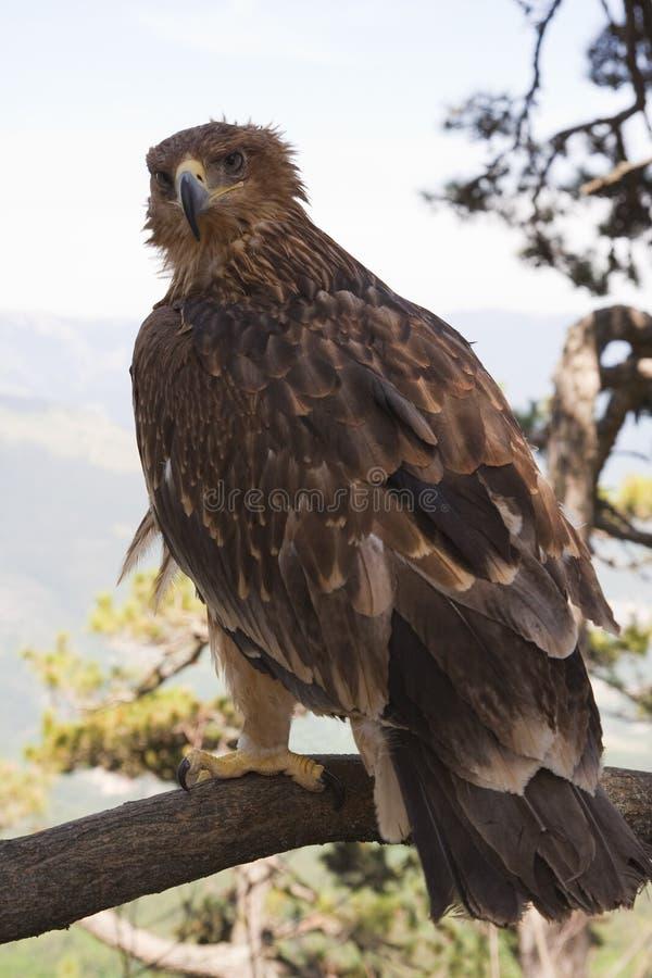 La estepa Eagle fotografía de archivo