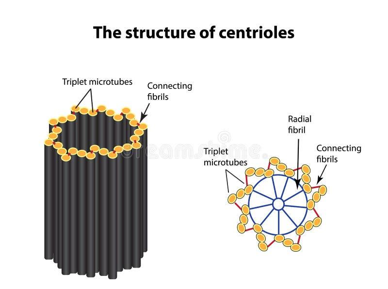 La estructura de centríolos Infografía Ejemplo del vector en fondo aislado ilustración del vector