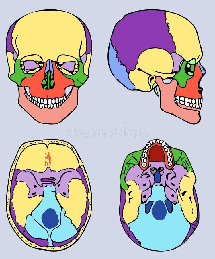 La Estructura De La Anatomía Del Cráneo Stock de ilustración ...