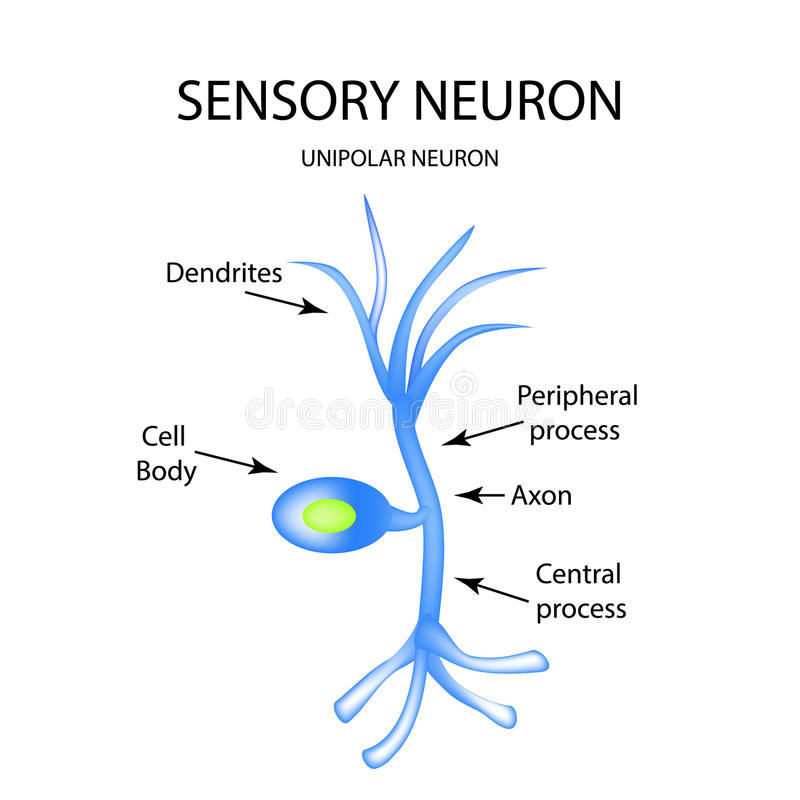 La Estructura De La Neurona Sensorial Infografía Ejemplo Del Vector ...