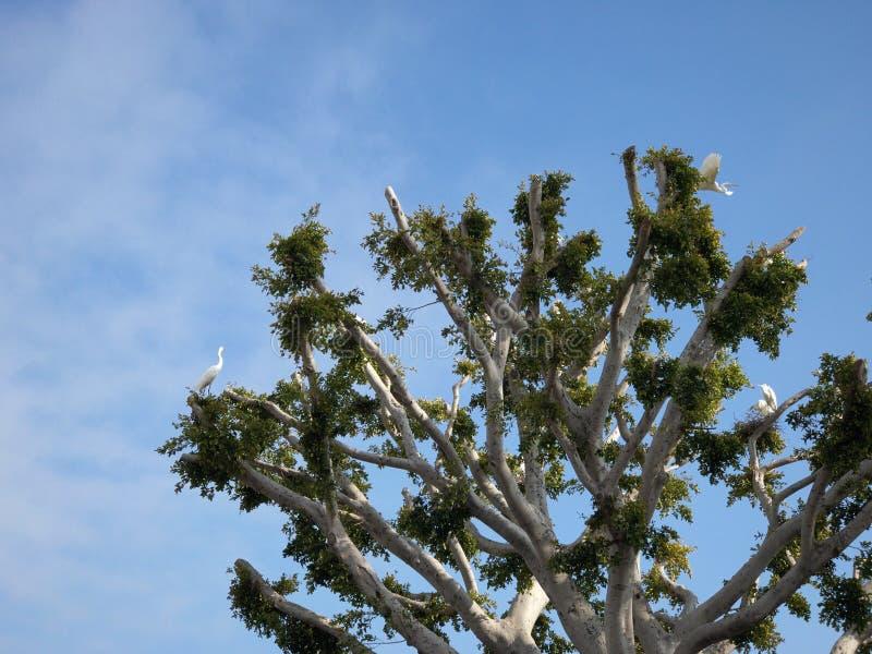 La estructura de las cigüeñas jerarquiza en un árbol en Malibu fotografía de archivo libre de regalías