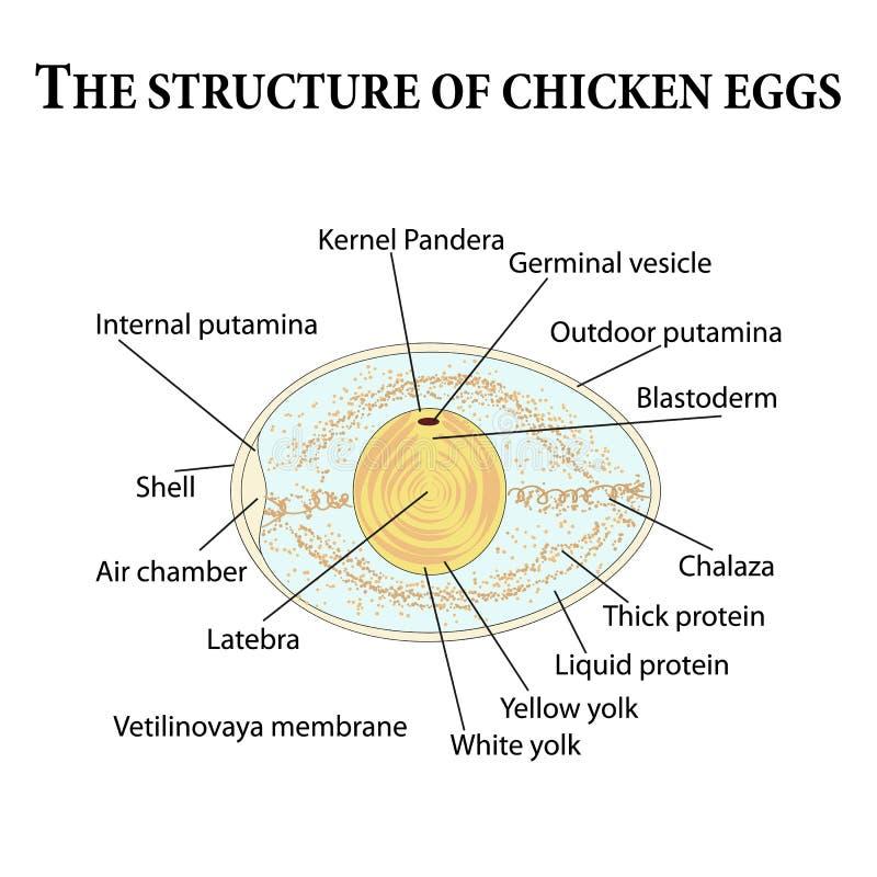 La estructura de los huevos del pollo libre illustration