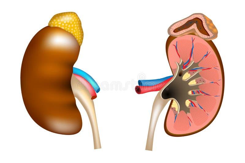 La estructura de los riñones y de la glándula suprarrenal ilustración del vector