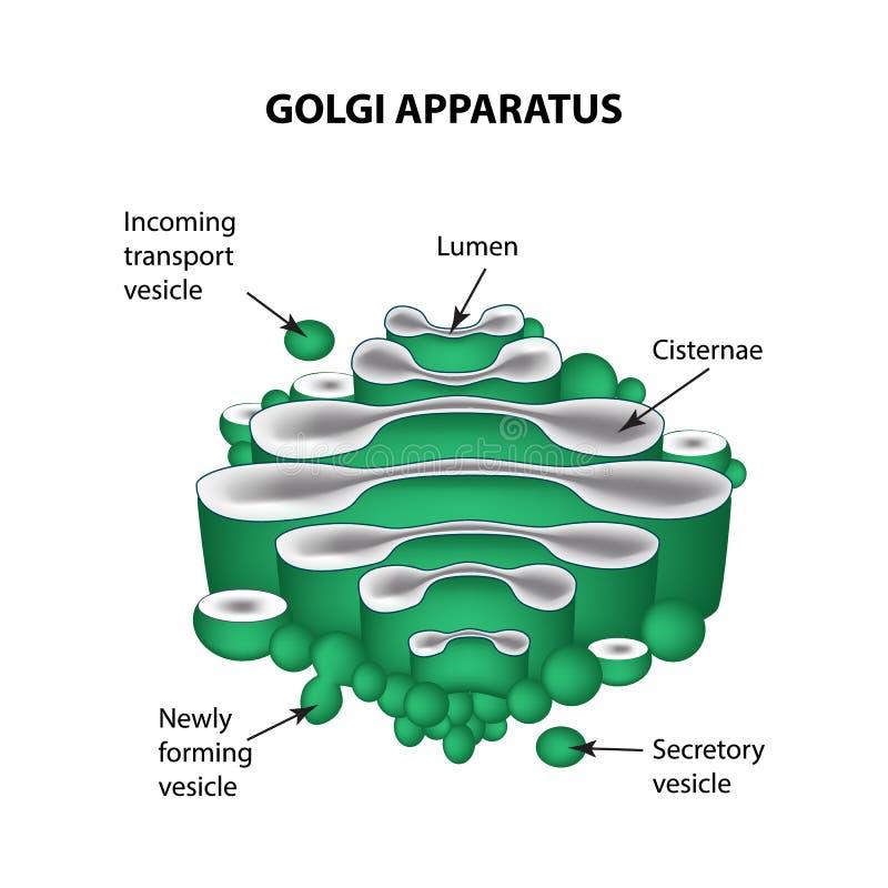 La estructura del aparato de Golgi Infografía Ejemplo del vector en fondo aislado stock de ilustración