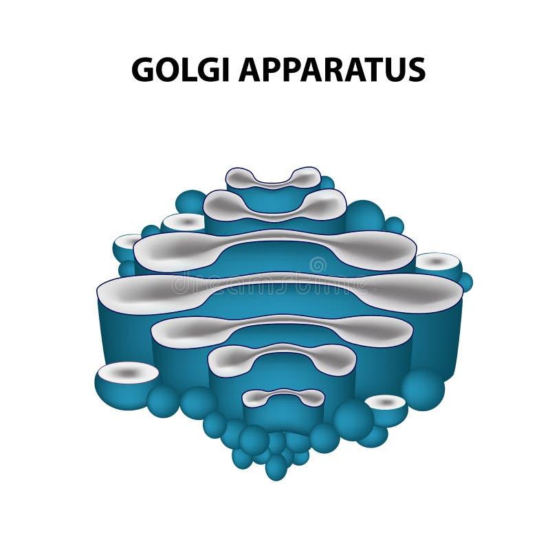 La estructura del aparato de Golgi Infografía Ejemplo del vector en fondo aislado ilustración del vector