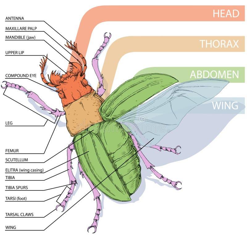 Excelente Diagrama De La Anatomía Escarabajo Componente - Imágenes ...