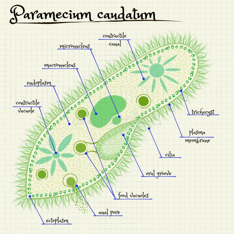 La estructura del saudatum del Paramecium ilustración del vector