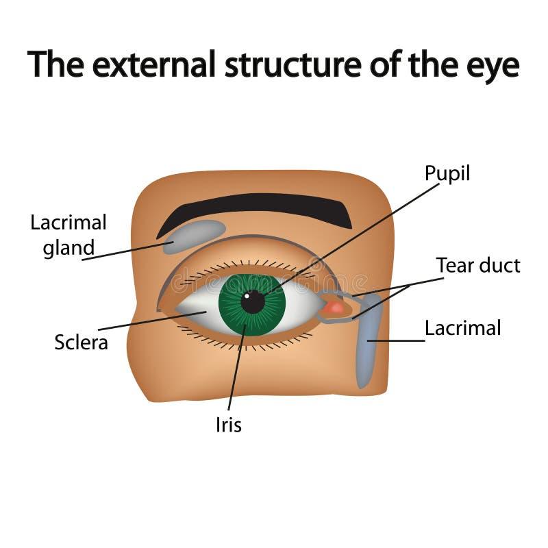 La estructura externa del ojo Vector ilustración del vector