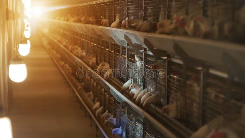 La fábrica para aumentar y criar la carne de la parrilla fuma, puesta del sol, cultivando fotografía de archivo