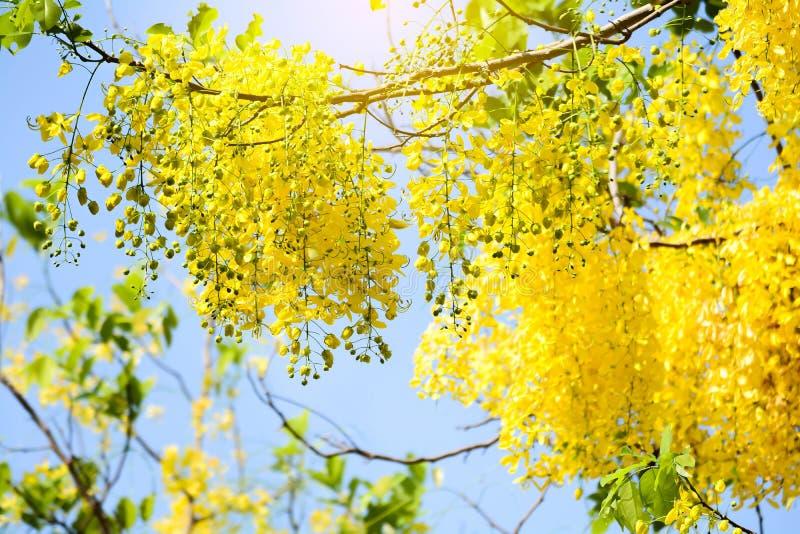 La fístula de la casia florece, ducha de oro en el cielo azul fotografía de archivo