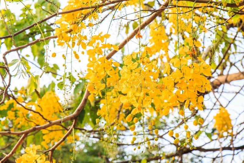 La fístula de la casia florece, las flores de oro de la ducha, flores amarillas s imágenes de archivo libres de regalías
