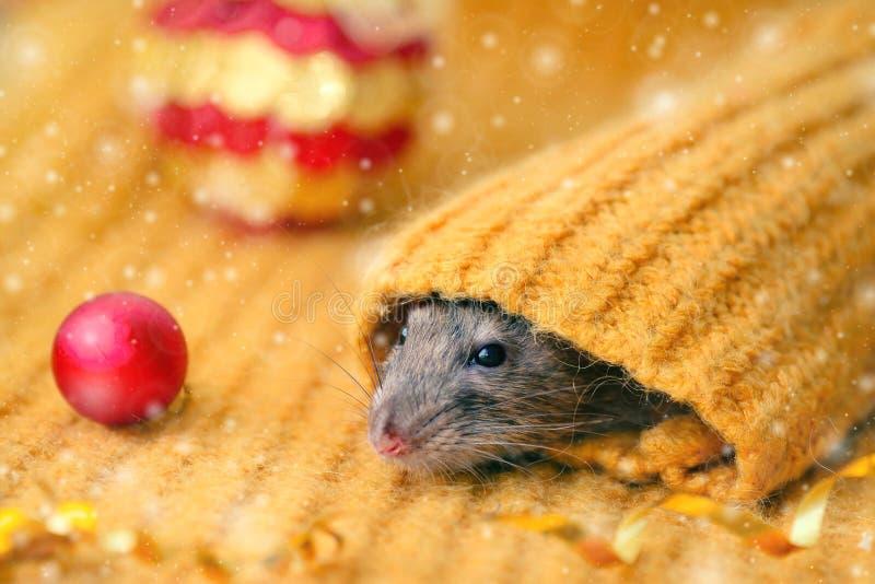 La faccia di un ratto marrone guarda la manica di un maglione giallo a maglia, con le palle rosse del Capodanno distese vicino. A immagine stock