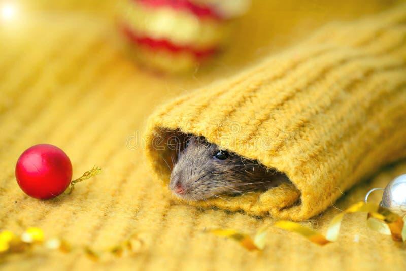 La faccia di un ratto marrone guarda la manica di un maglione giallo a maglia, con le palle rosse del Capodanno distese vicino. A immagine stock libera da diritti