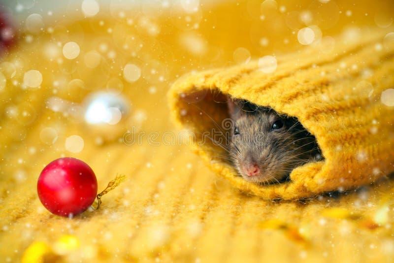 La faccia di un ratto marrone guarda la manica di un maglione giallo a maglia, con le palle rosse del Capodanno distese vicino. A immagini stock libere da diritti