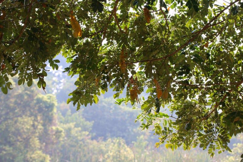 La falta de definición de la selva del fondo deja ramas de la naturaleza del verde y del bosque del árbol ejecución verde desde a imagen de archivo libre de regalías