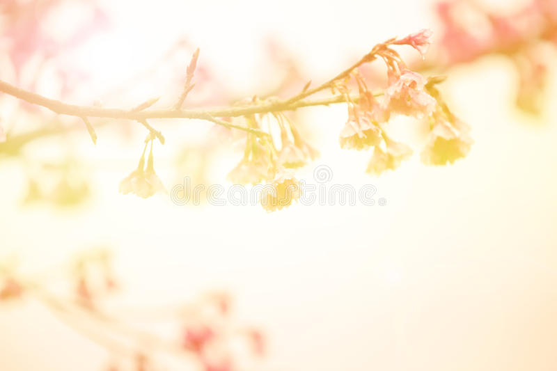 La falta de definición y la suavidad abstractas de Sakura tailandés dulce ramifican fotos de archivo
