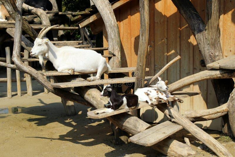 La famiglia addormentata delle capre nel giorno soleggiato immagine stock libera da diritti