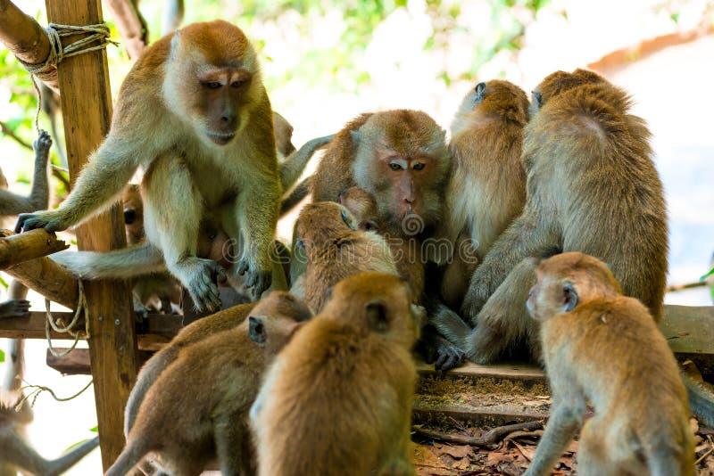 La famiglia amichevole delle scimmie è tenuta insieme fotografie stock