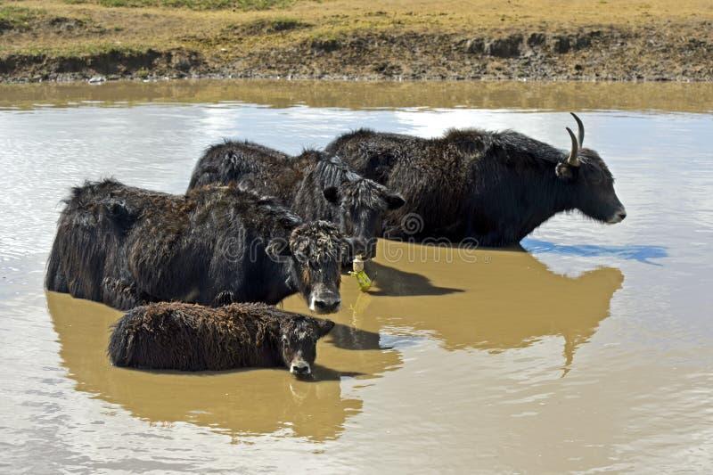 La famiglia dei yak sta raffreddando in uno stagno un giorno di estate caldo immagini stock
